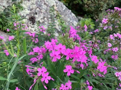 Phlox on a hillside