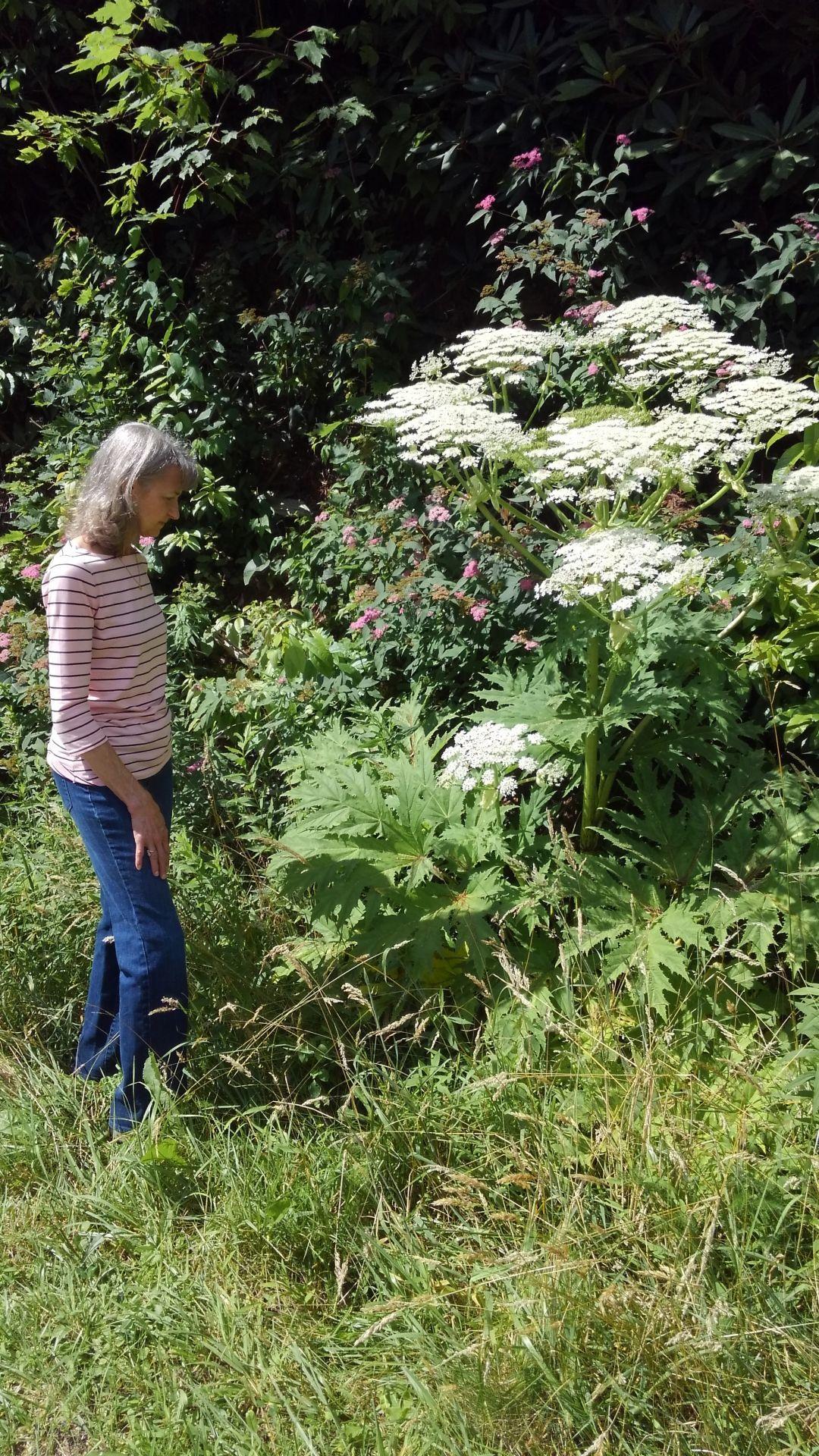 Ebel hogweed