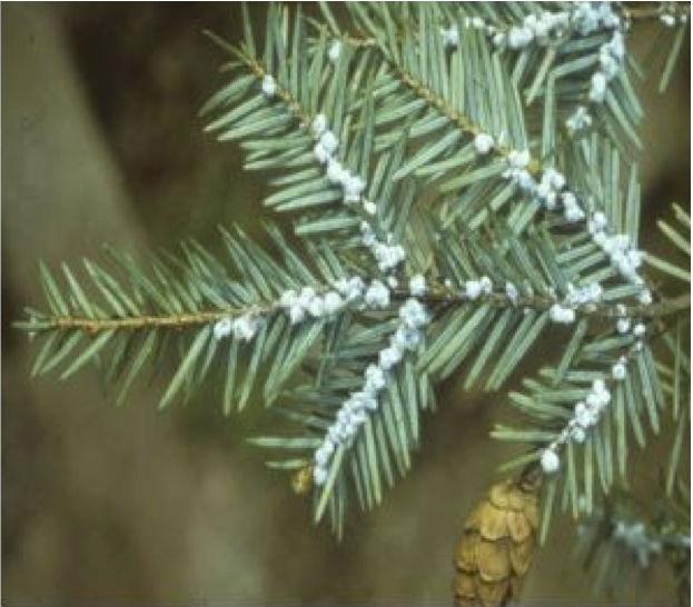 Hemlock woolly adelgid infestation