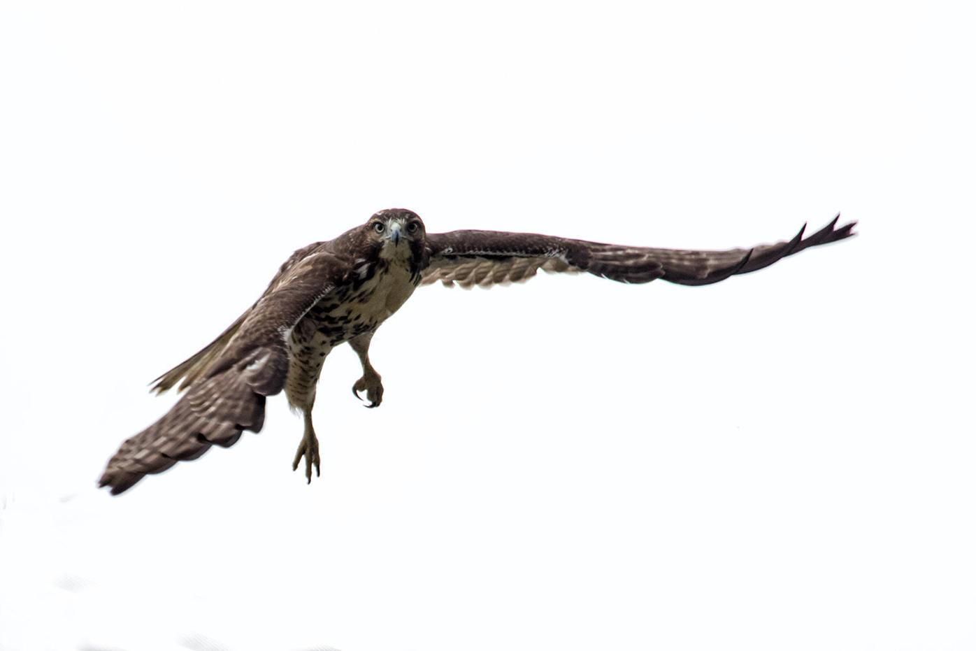 Kettle broad-winged hawks