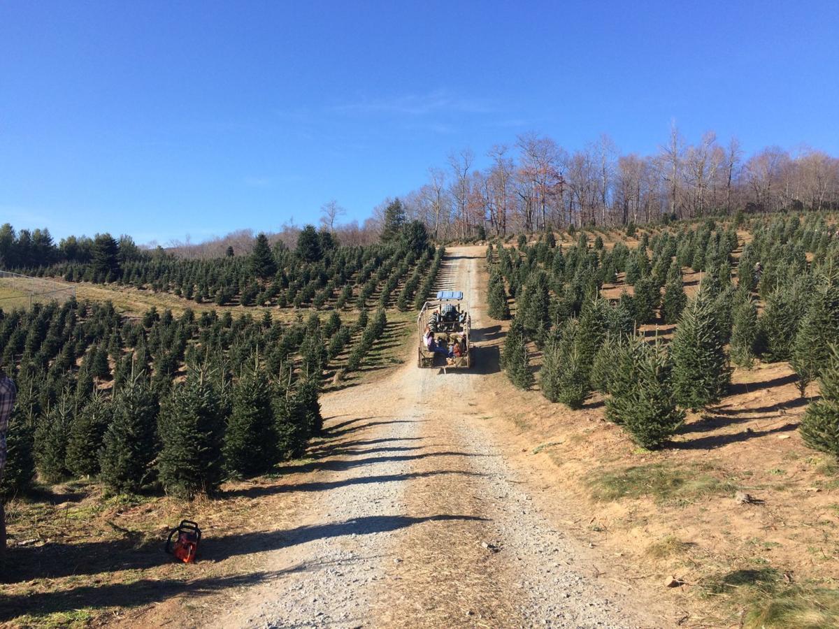 Fraser fir Christmas tree industry