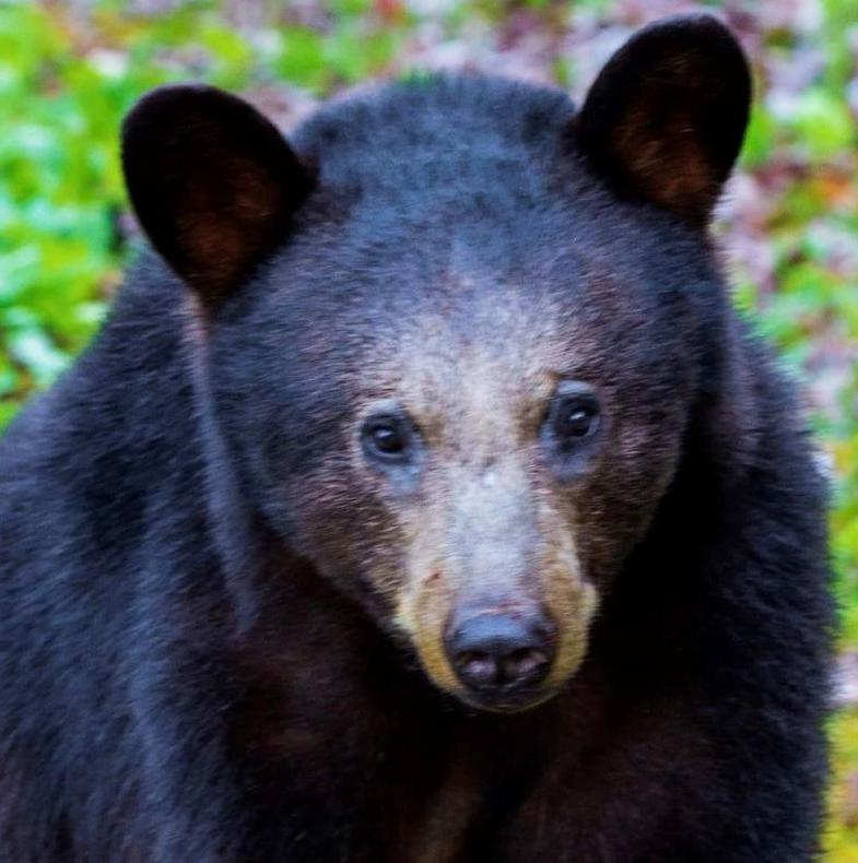 Bear missing paw located in Banner Elk