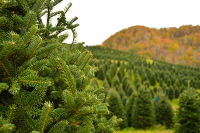 the fraser fir is the most popular tree at watauga countys choose and cut christmas tree farms