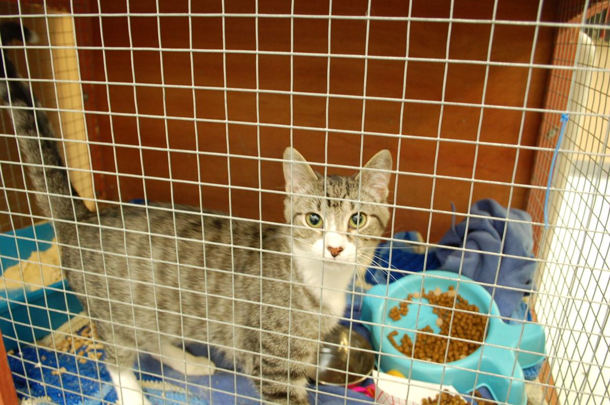 Humane Society to resume cat intakes, adoptions | Mountain Times ...