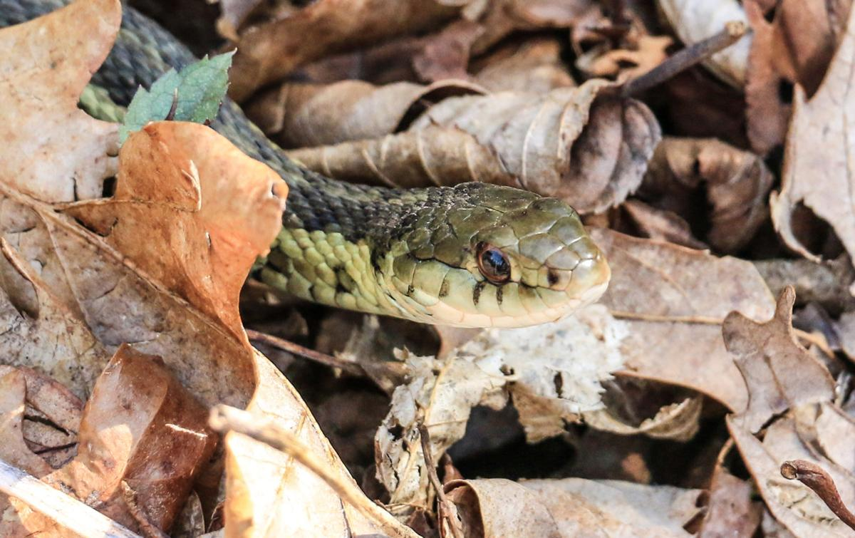 warm winter spring brings more snakes to the area mountain