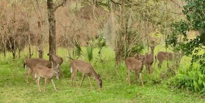 Invading deer.