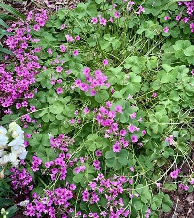 Oxalis thrives in Kit's garden, but not for long.