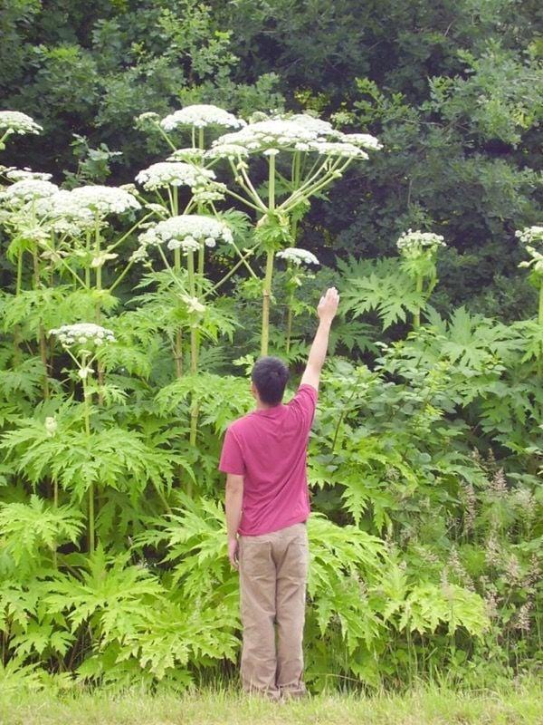 Giant Hogweed Found In Watauga County News Wataugademocratcom