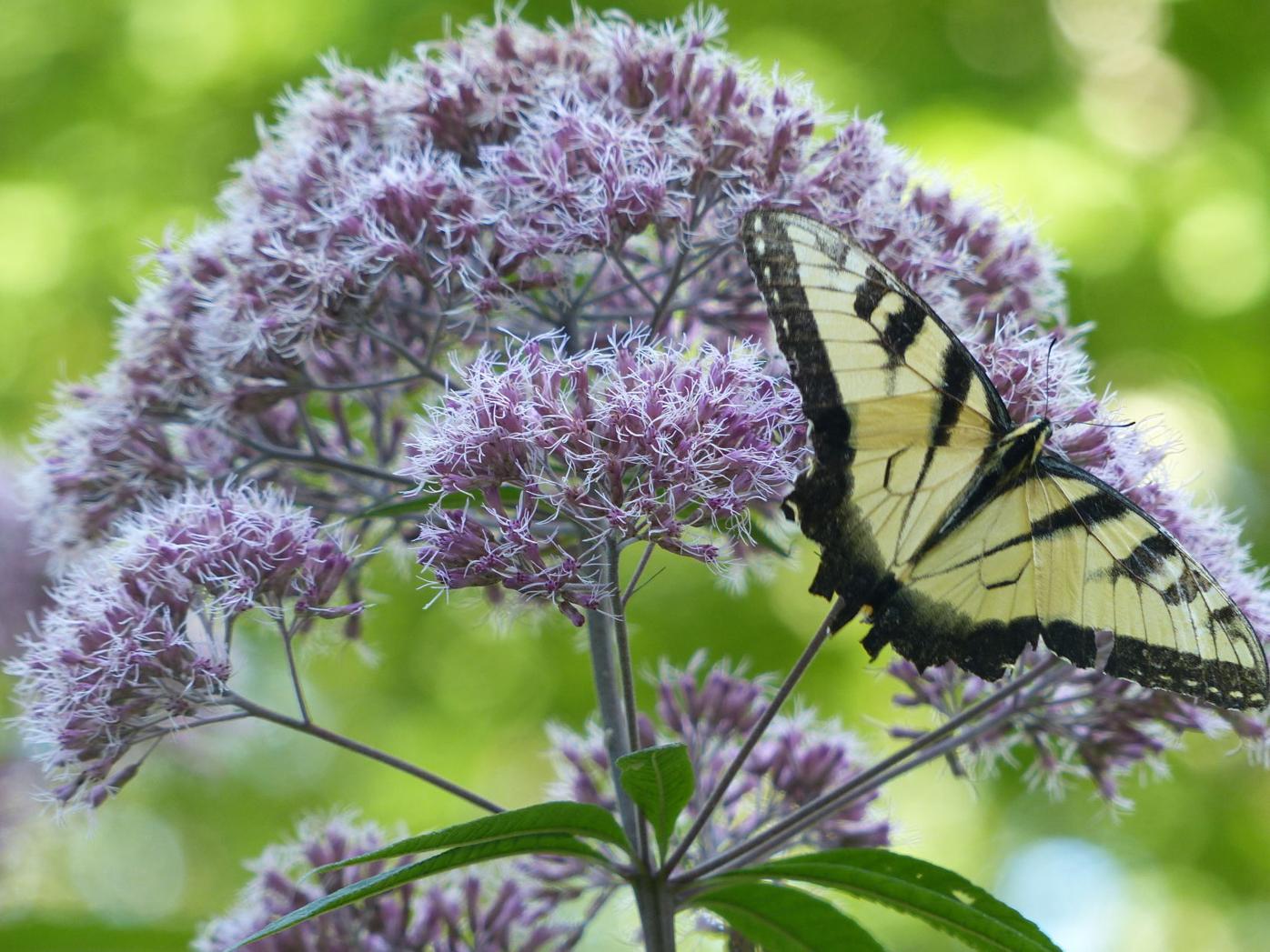 PHOTO butterflies on joe pye (5).JPG