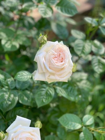 'Madame Anisette' blooming in Kit's garden.
