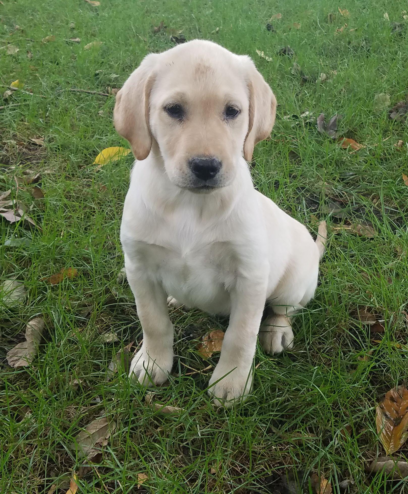 Lab puppies image 1