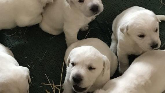 AKC white lab puppies for sale