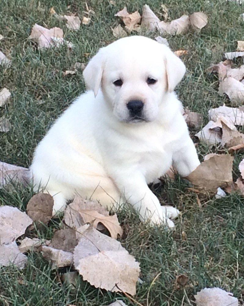 Labrador Retreiver image 1