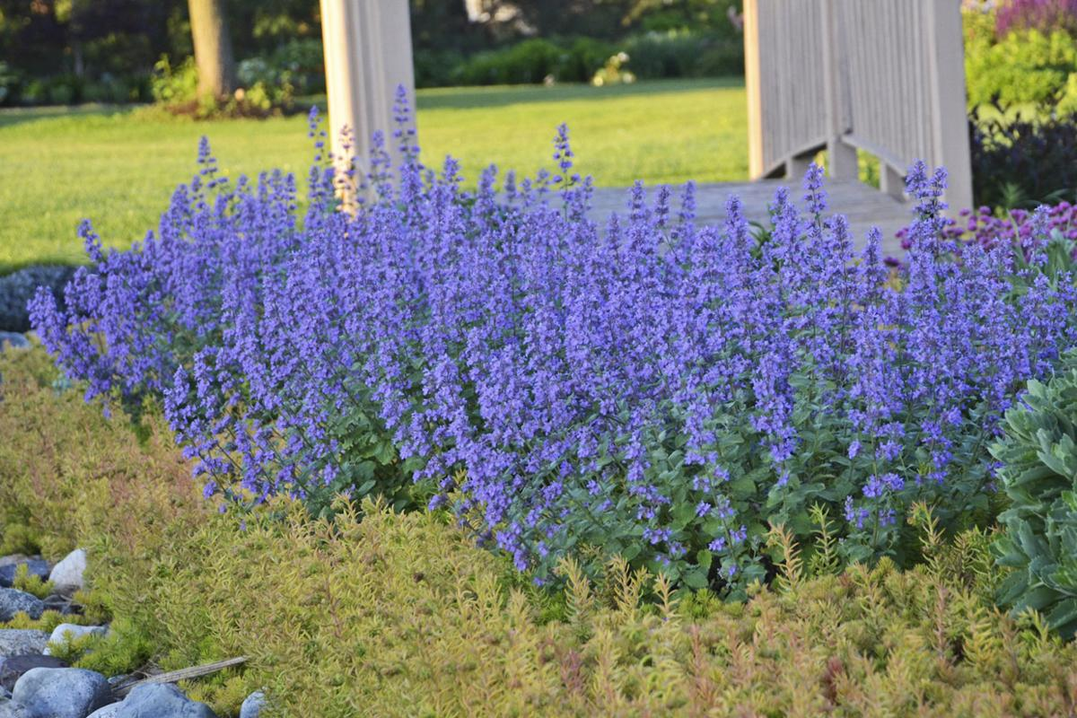 cats-meow-catmint.jpg