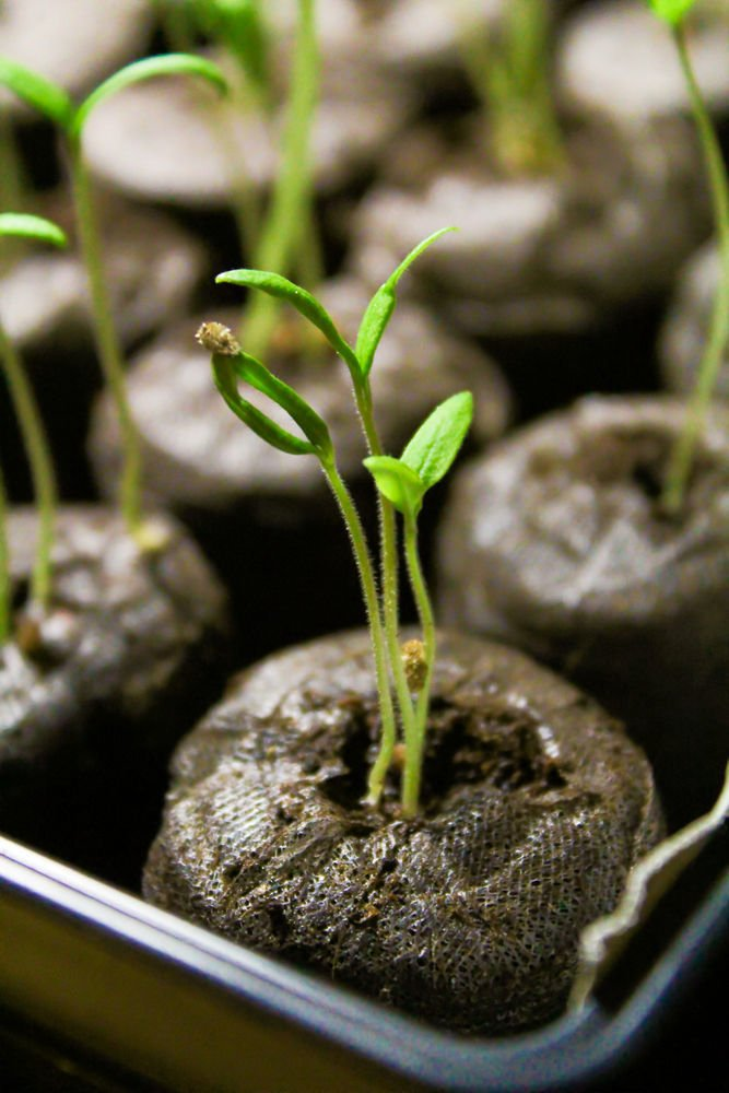 healthy-seedling