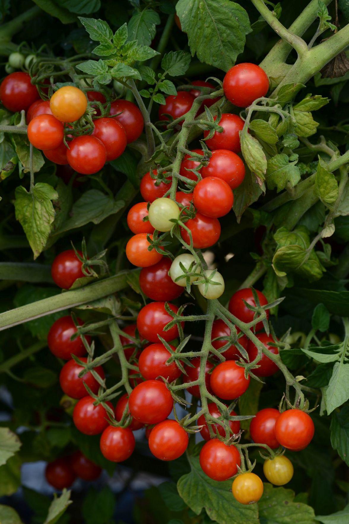 Tomato_CurrantCandylandRed-AAS2016.PRIMARY-1.jpg