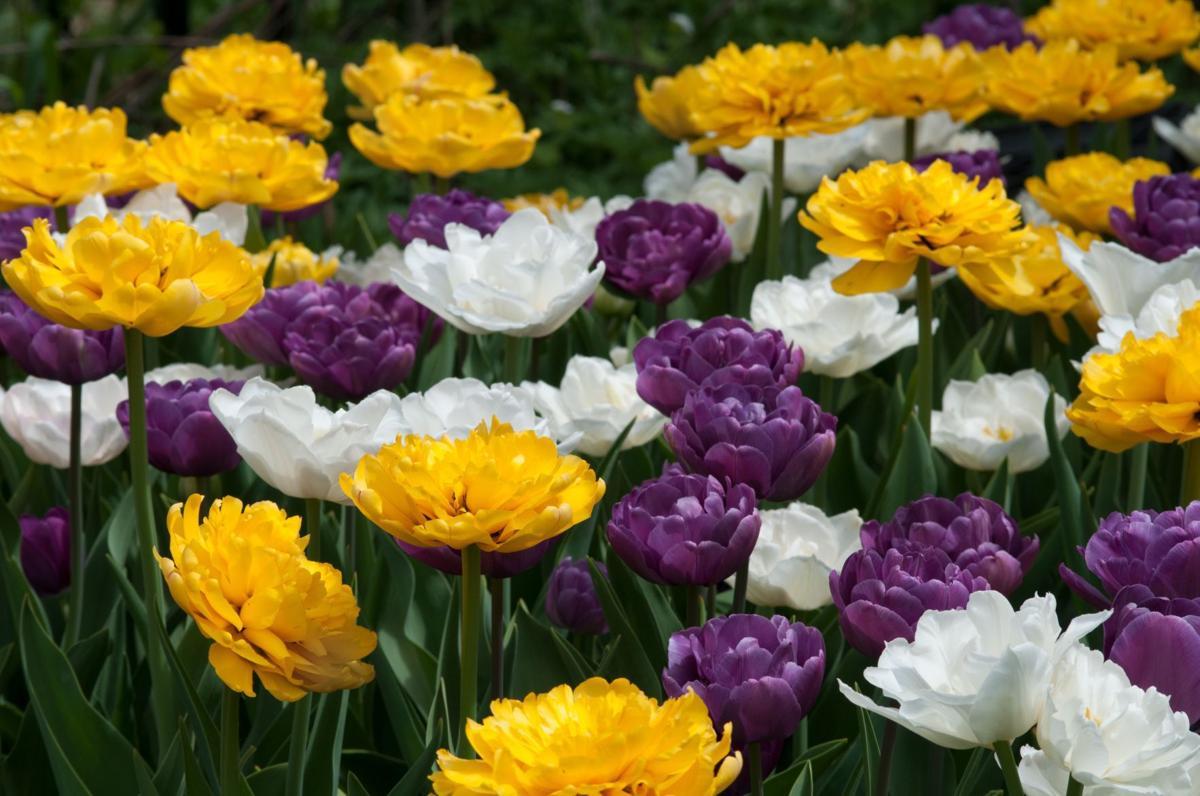 Colorblends Tulip Blend Snowmelt