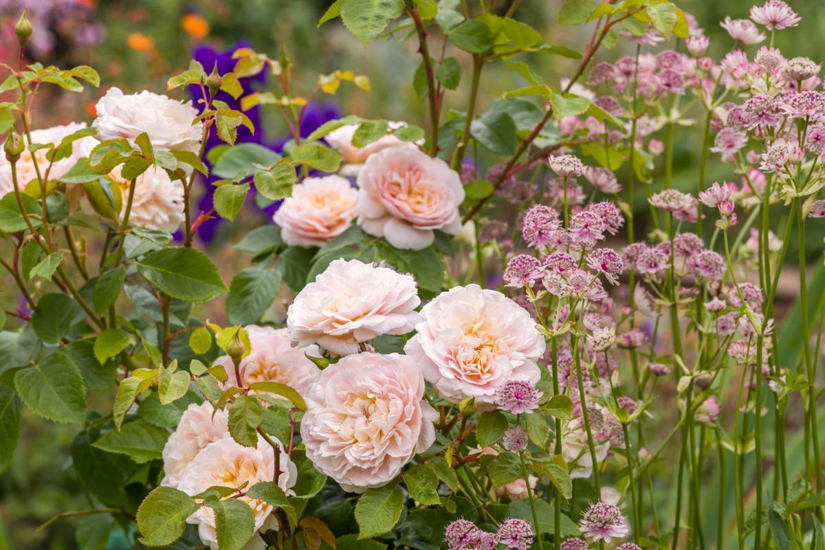 English Rose Emily Bronte - David Austin Roses