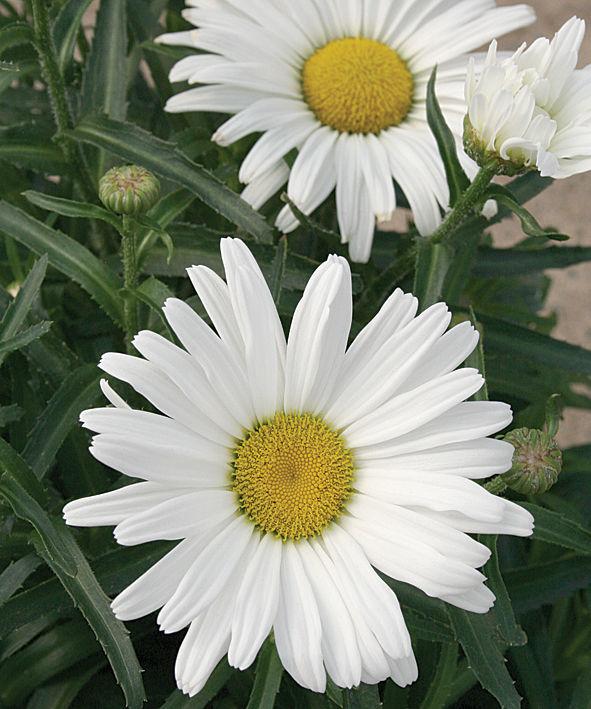 daisy-may-shasta.jpg