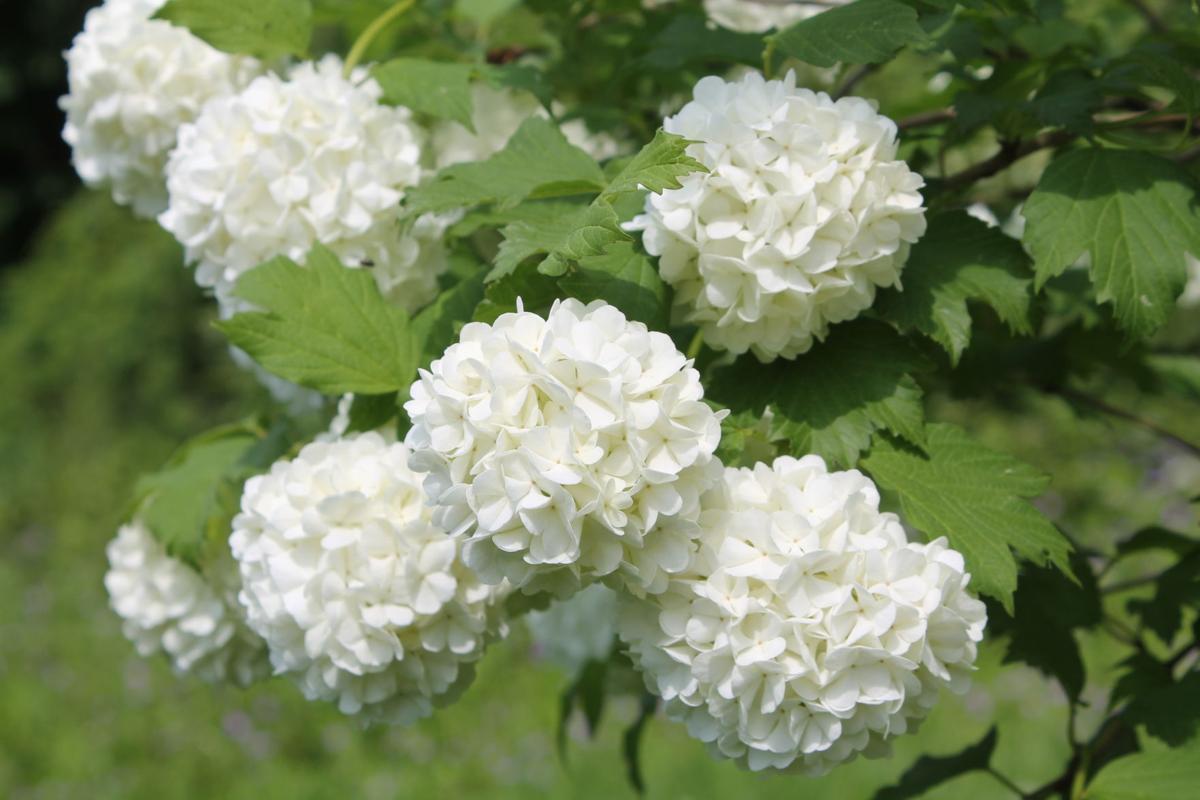 snowball-viburnum