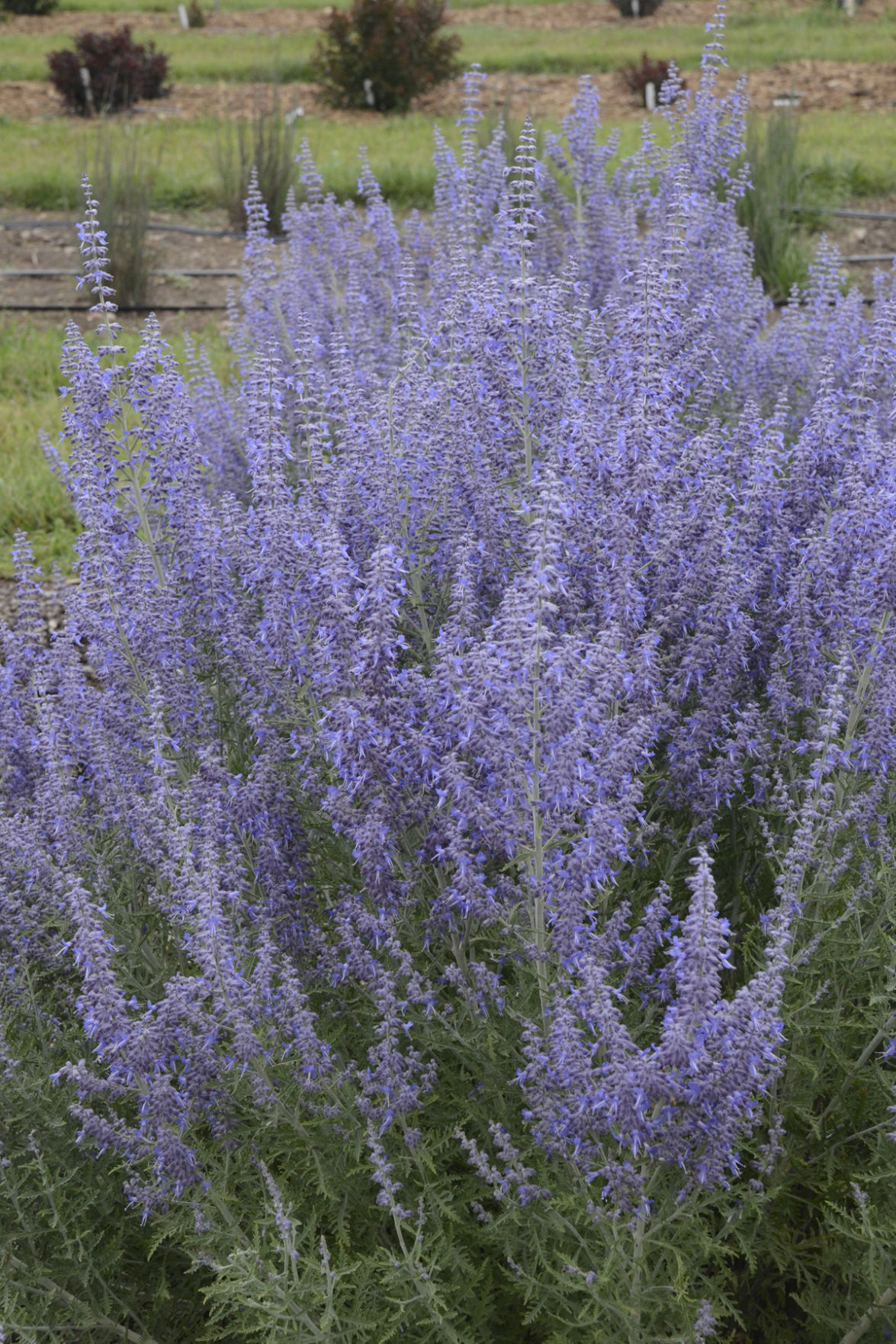Close The Salad Bar With These Deer Resistant Perennials
