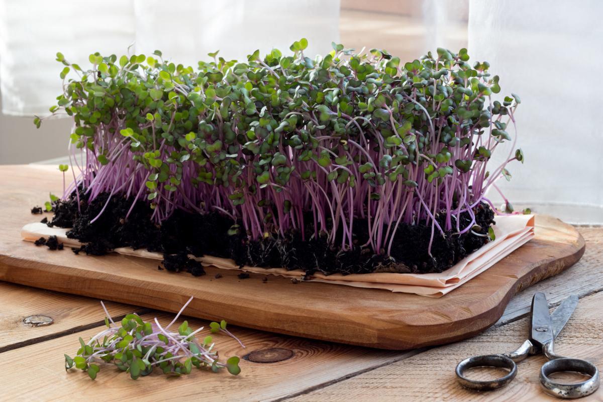 red cabbage microgreens.jpg