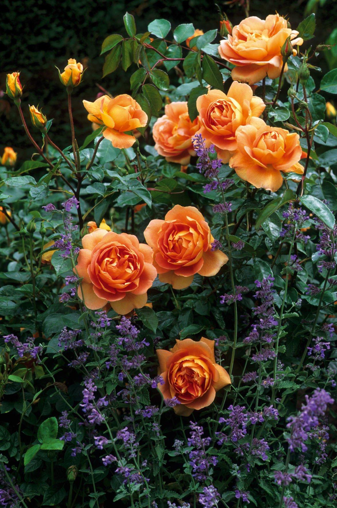 2020 David Austin Roses And Companion Plants Photos Wcfcourier Com