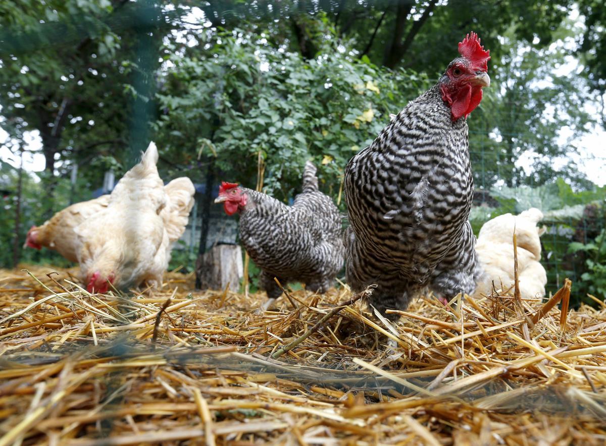 cedar falls council to cluck over backyard chickens political