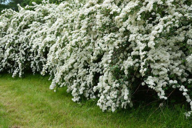 Say I Do To Trimming Bridal Wreath Other Spring