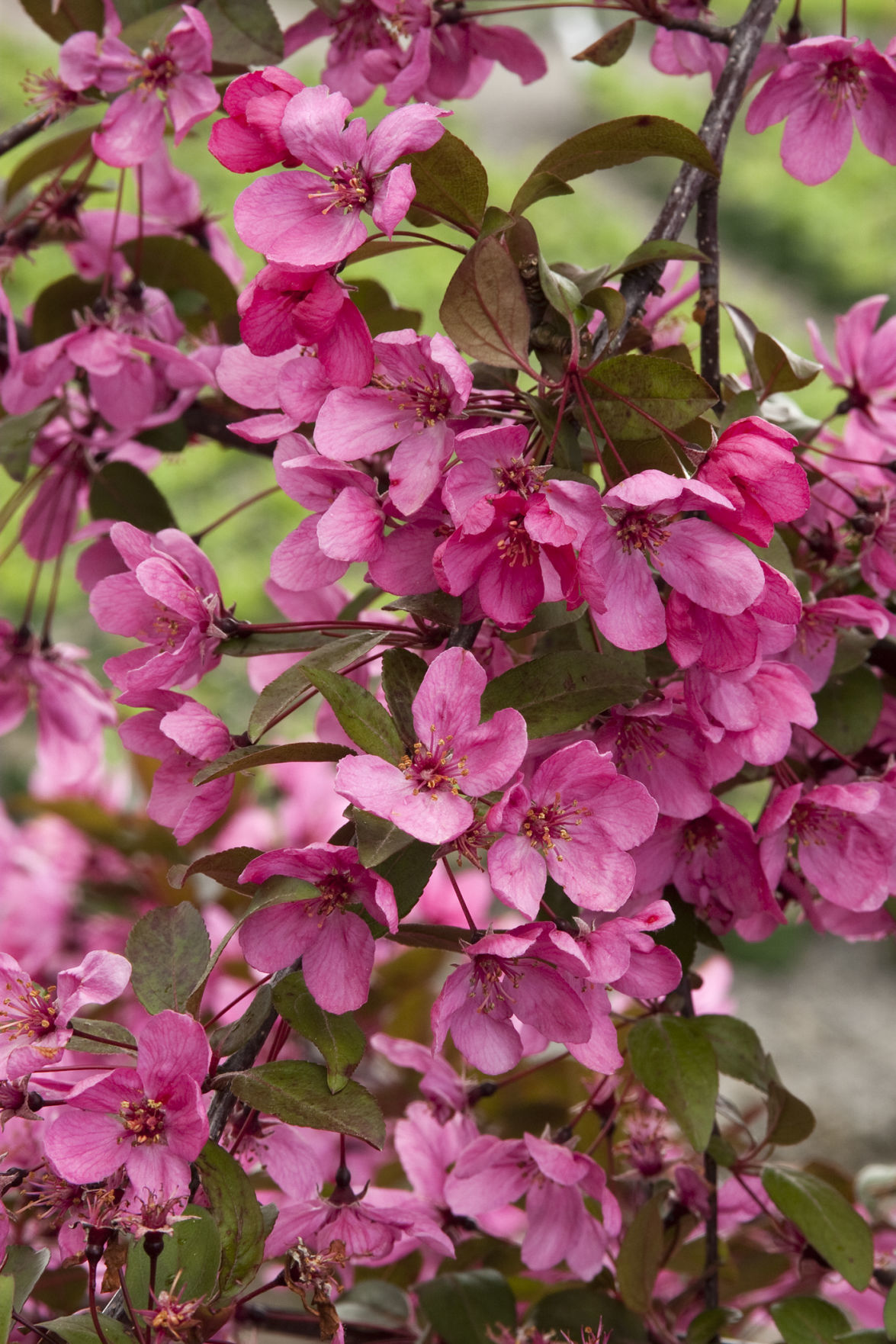 Be bowled over by spring blooming crabapple trees lifestyles prairifire crabapple mightylinksfo