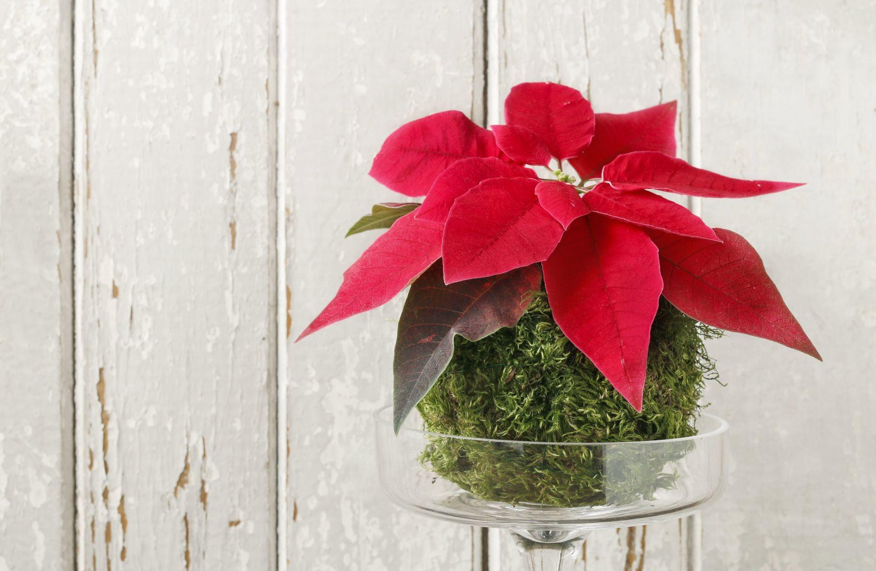 Waterloo-Cedar Falls Courier & Poinsettia stems make pretty seasonal cut flowers ...