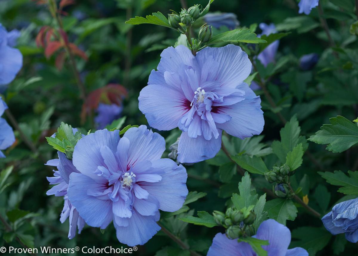 blue_chiffon_hibiscus-2.jpg