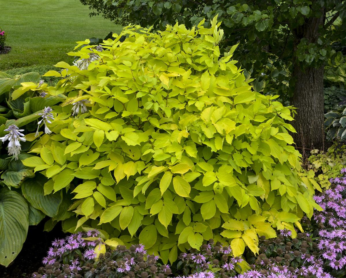 Shade Loving Sun King Named Top Perennial Plant For 2020