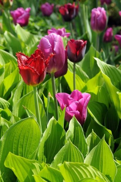 Tulips and hostas