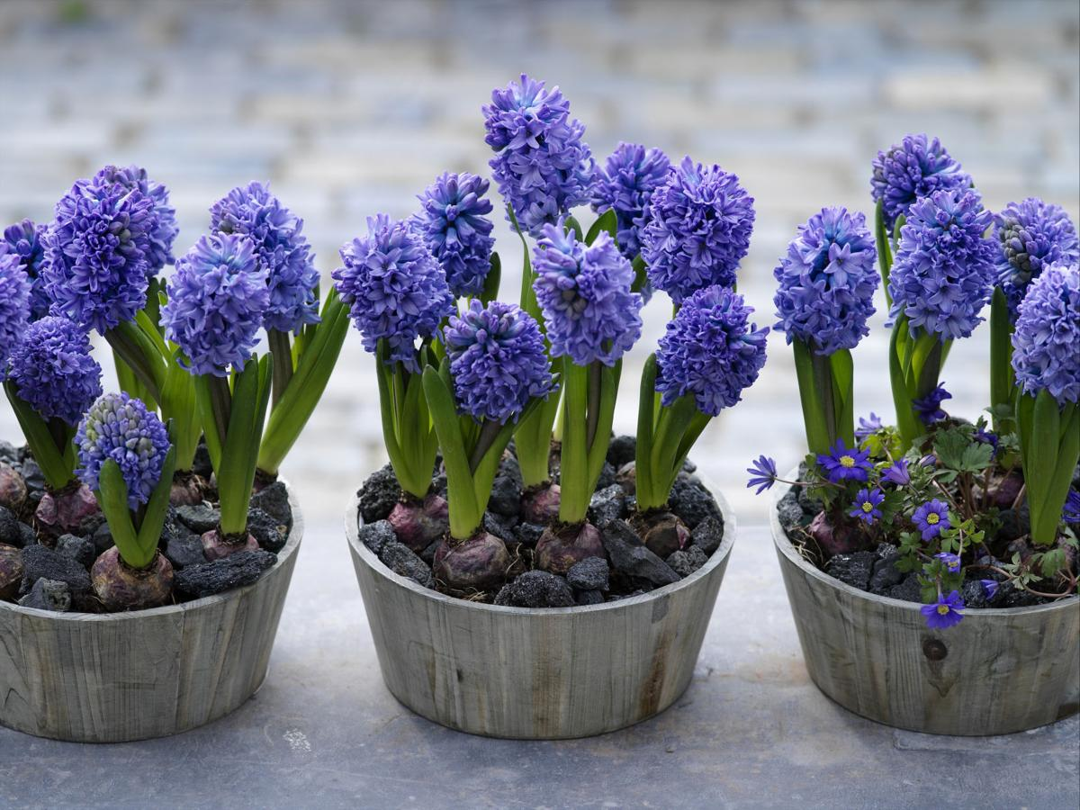 Give the unexpected gift of hyacinths garden wcfcourier blue hyacinths reviewsmspy