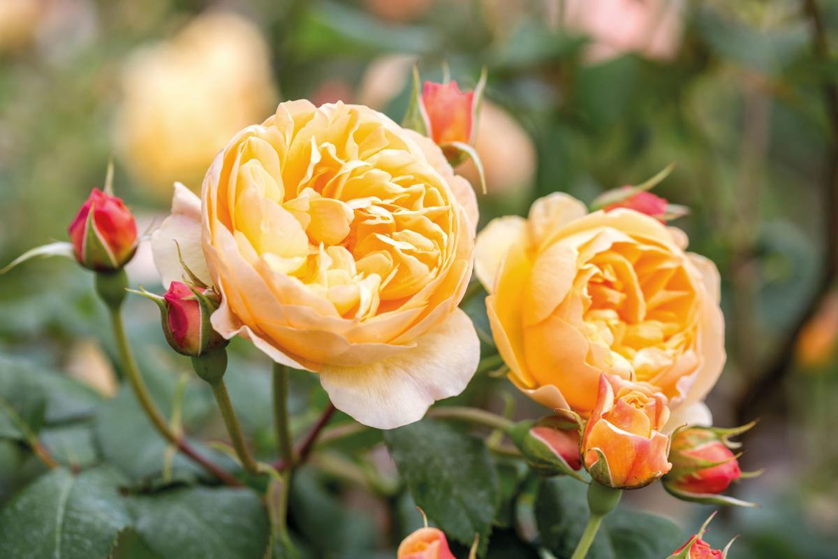 roald-dahl-rose