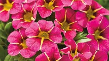 The little plant that could: Calibrachoa will bloom its fool