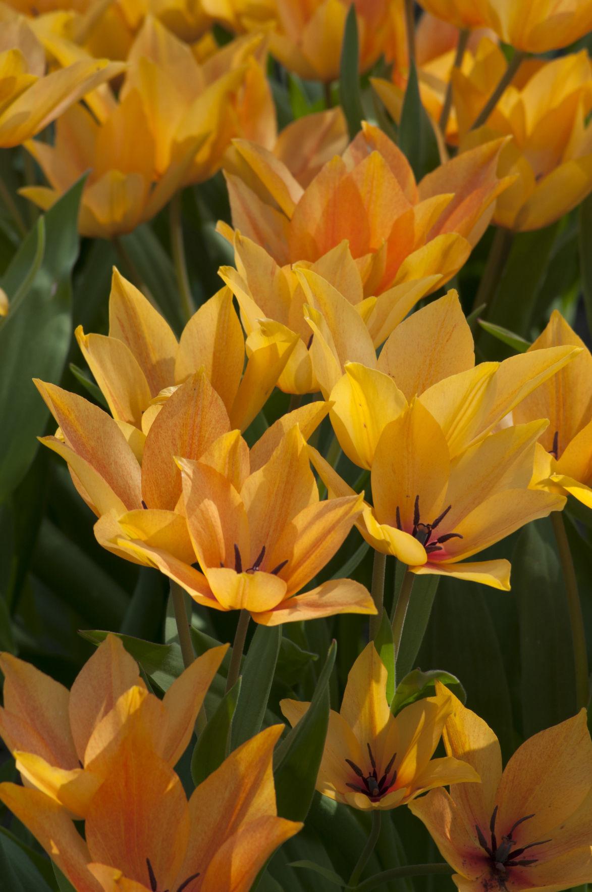 Tulipa praestans 'Shogun' - Species or Wild Tulip
