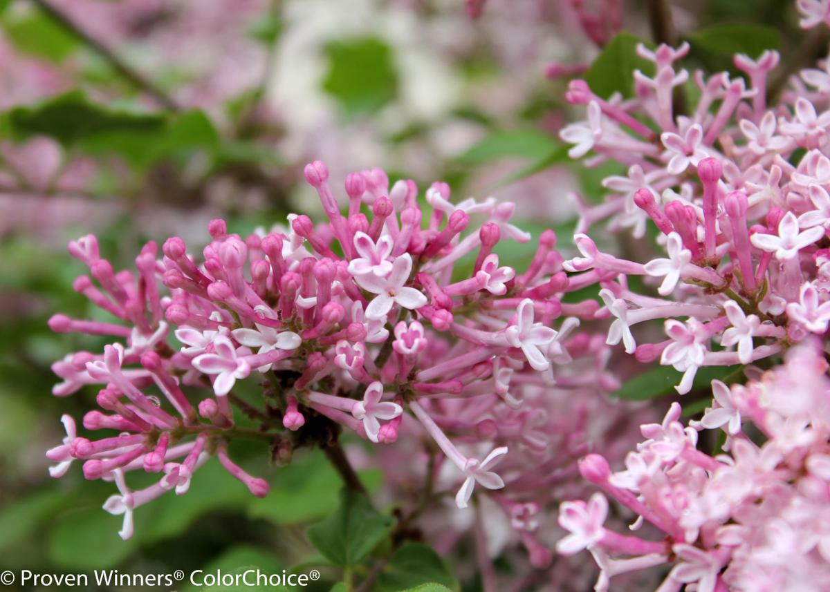 Scents sensibility lilacs are wonderful additions to the scent sensibility pink lilac mightylinksfo