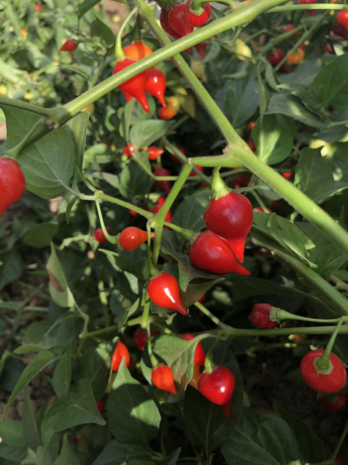 Pepper Biquinho Red.jpeg