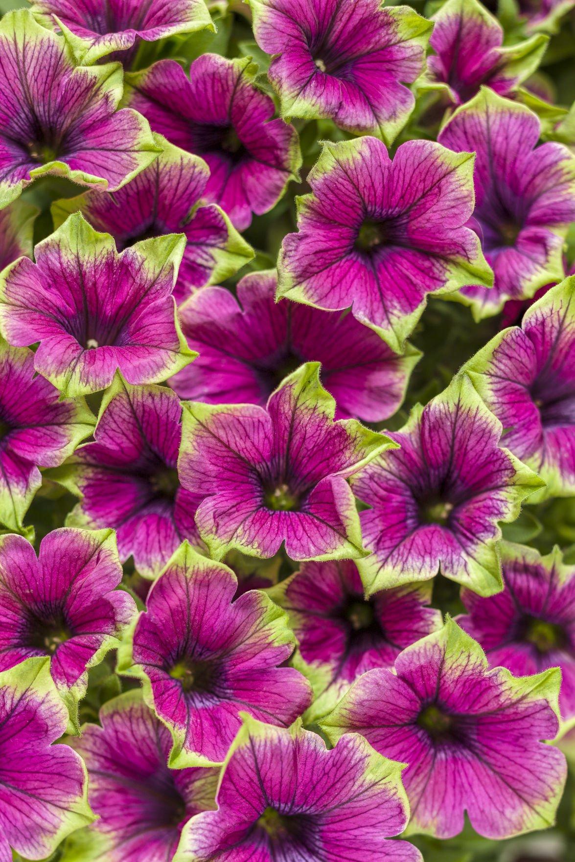 picasso-in-purple-supertunia-pw.jpg