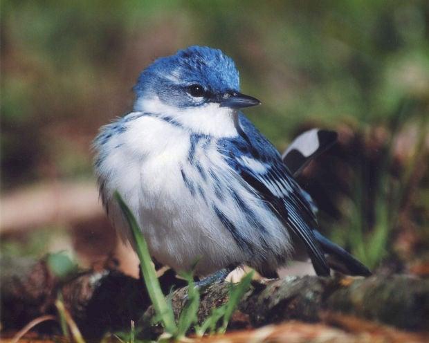 050414ho-cerulean-warbler-by-alex-stark