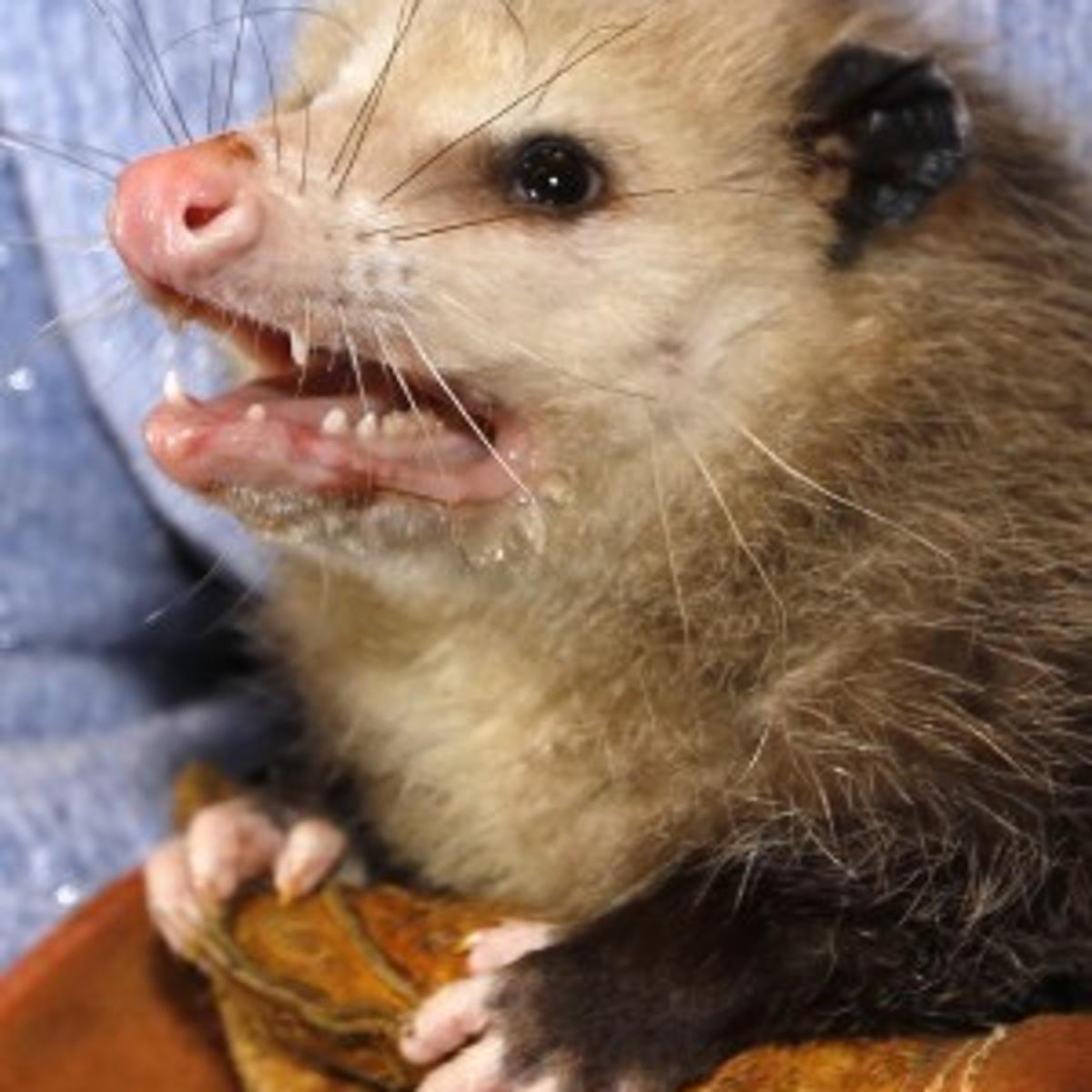 Opossum recovering after being shot multiple times in