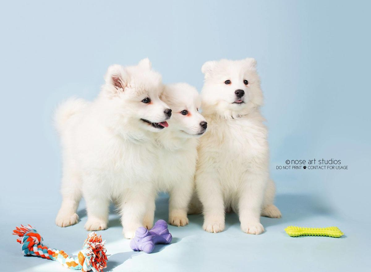Samoyed puppies ready for adoption