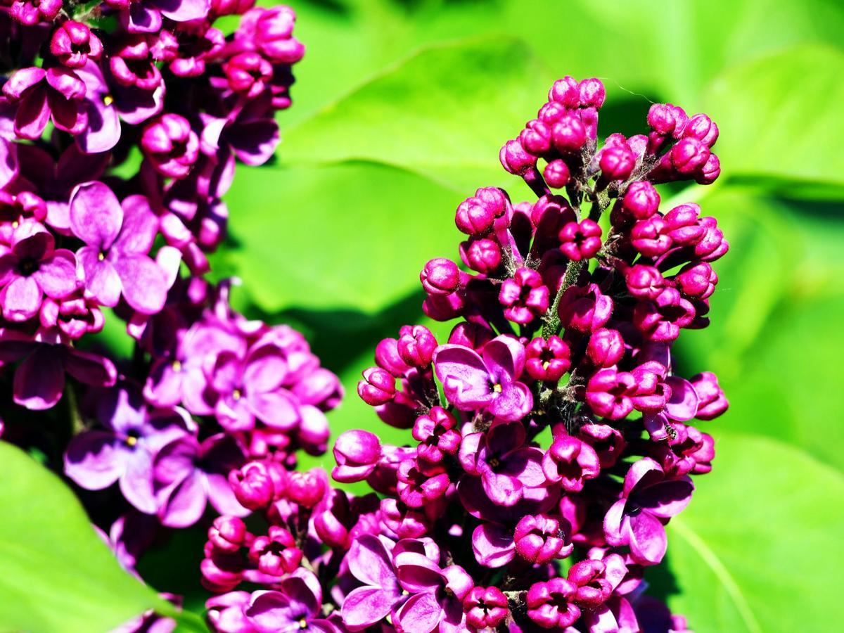 charles joly lilac.jpg