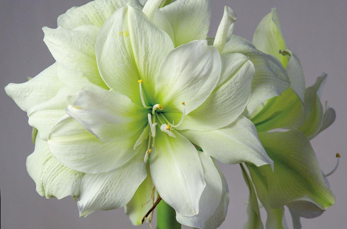 Amaryllis Marilyn - Colorblends.com