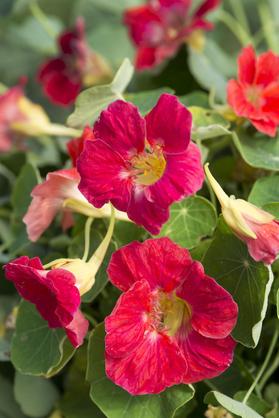 Nasturtium-Tip-Top-Rose.jpg