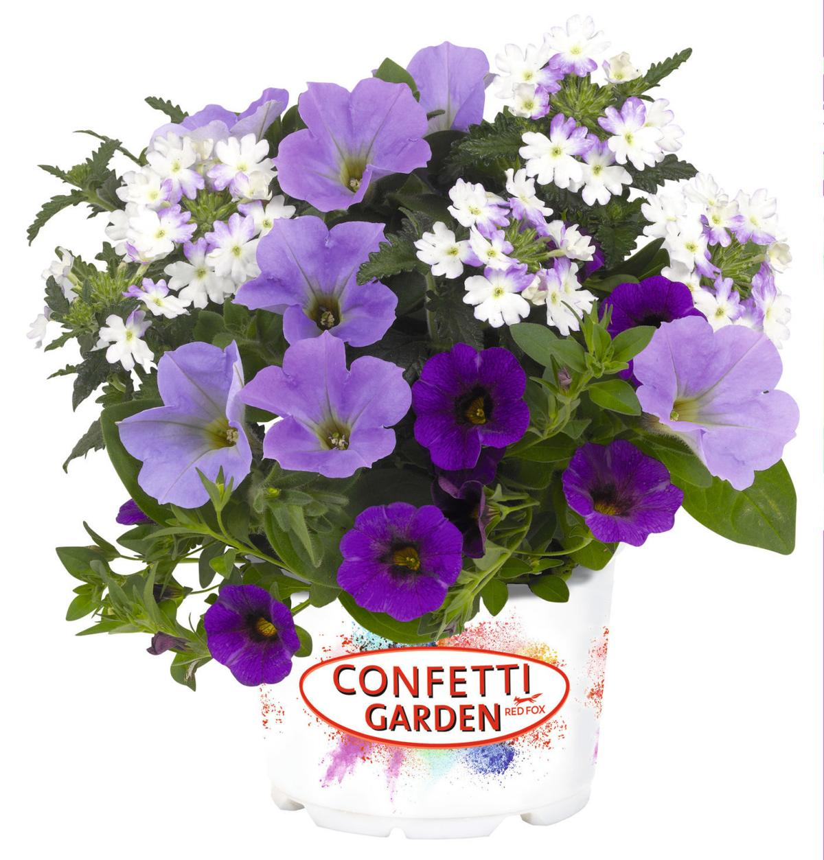 confetti garden shocking blue