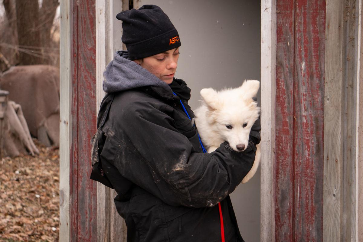 See all the photos of the Samoyeds seized from an Iowa puppy