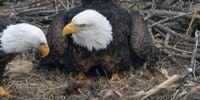 decorah-eagles